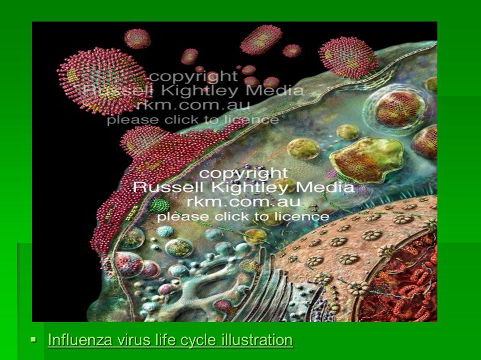  Influenza virus life cycle illustration Influenza virus life cycle illustration Influenza virus life cycle illustration