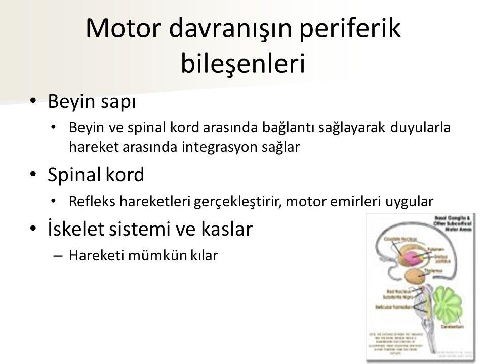 Motor davranışın periferik bileşenleri Beyin sapı Beyin ve spinal kord arasında bağlantı sağlayarak duyularla hareket arasında integrasyon sağlar Spin