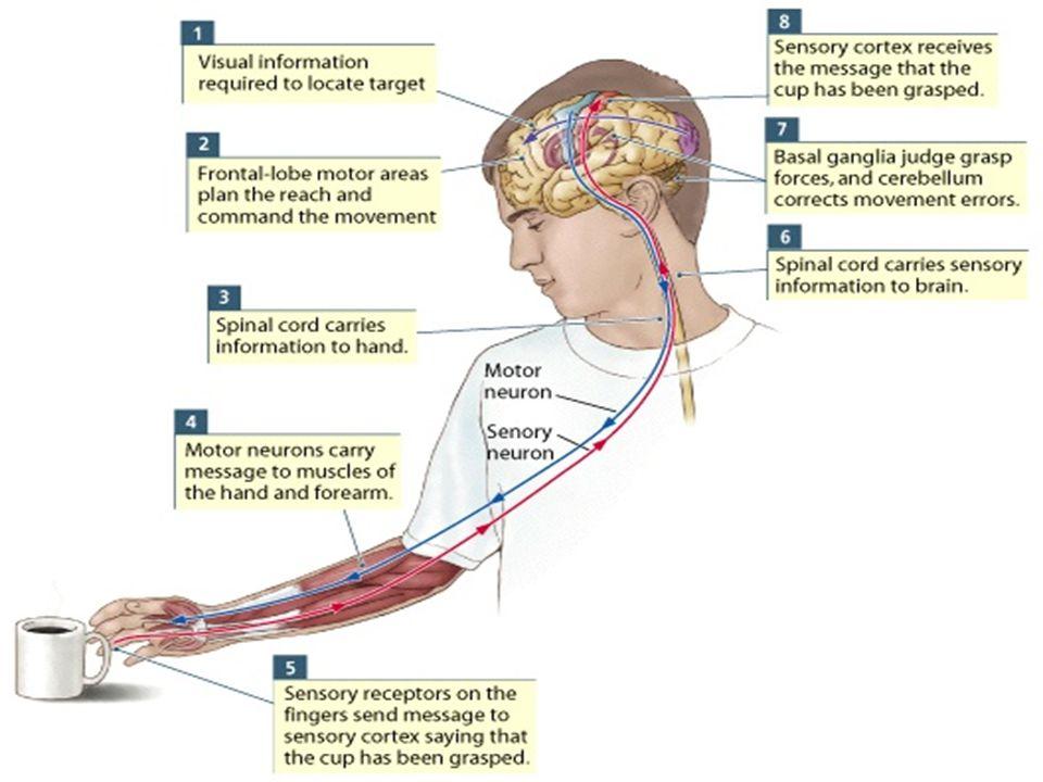 Wolpert and Ghahramani, 2000 Beyin hareketin aşamaları ve motor komutlar arasındaki bağlantıları öğrenir Sensorimotor döngü