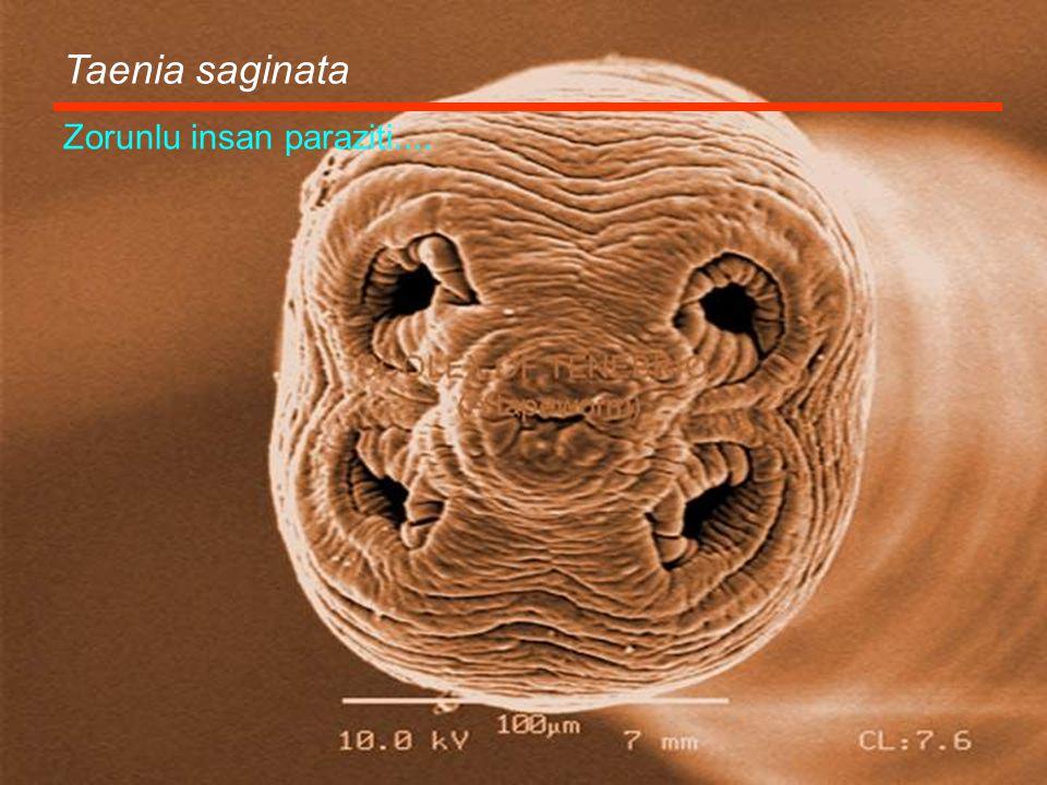 Taenia saginata Zorunlu insan paraziti....