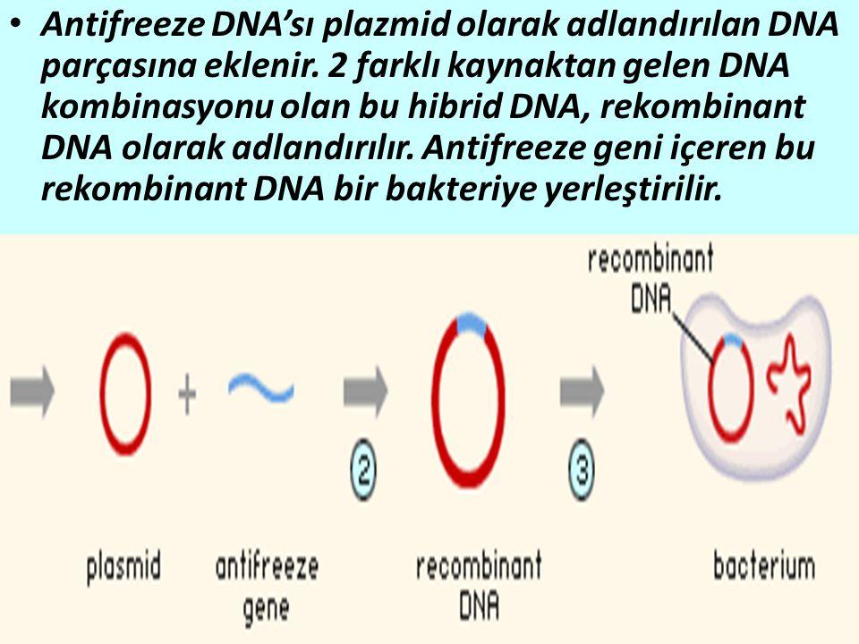 Antifreeze DNA'sı plazmid olarak adlandırılan DNA parçasına eklenir.