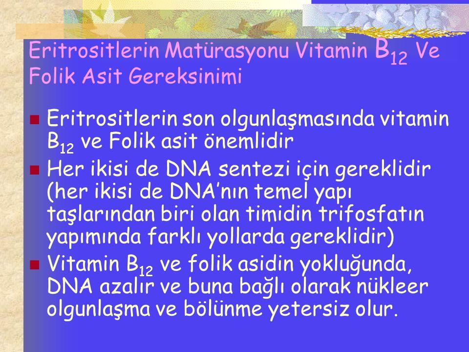 Eritrositlerin Matürasyonu Vitamin B 12 Ve Folik Asit Gereksinimi Eritrositlerin son olgunlaşmasında vitamin B 12 ve Folik asit önemlidir Her ikisi de