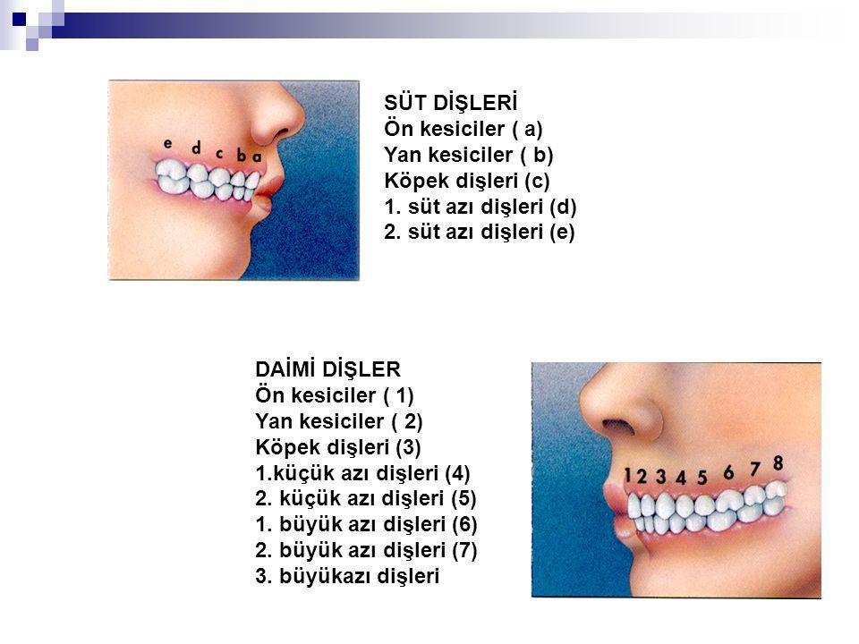 SÜT DİŞLERİ Ön kesiciler ( a) Yan kesiciler ( b) Köpek dişleri (c) 1. süt azı dişleri (d) 2. süt azı dişleri (e) DAİMİ DİŞLER Ön kesiciler ( 1) Yan ke