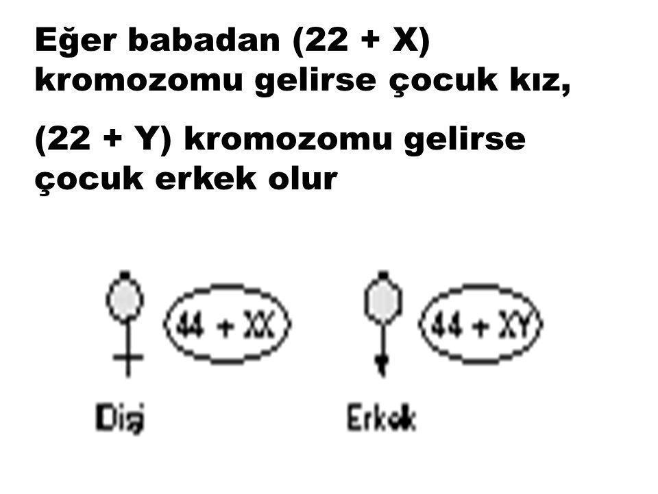 Mayoz bölünmeyle oluşan üreme hücrelerinde 23 kromozom bulunur. Anneden gelen gamet tek çeşittir; (22 + X). Babadan gelen kromozomlar iki çeşittir; (2