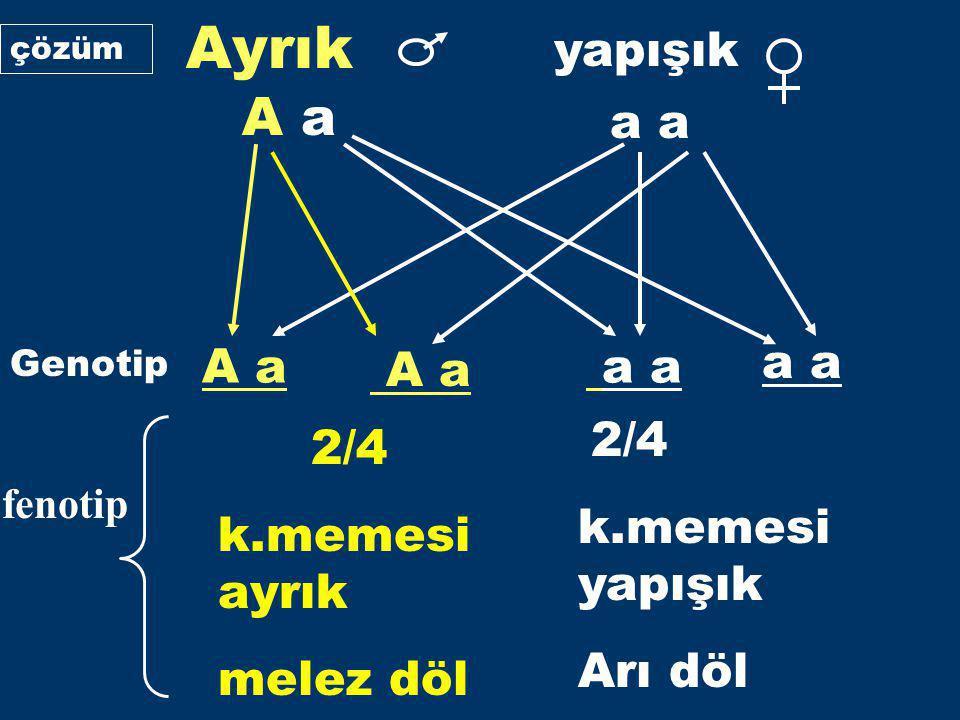 Ayrık yapışık A a a a A a a a a Genotip fenotip 2/4 k.memesi ayrık melez döl 2/4 k.memesi yapışık Arı döl çözüm