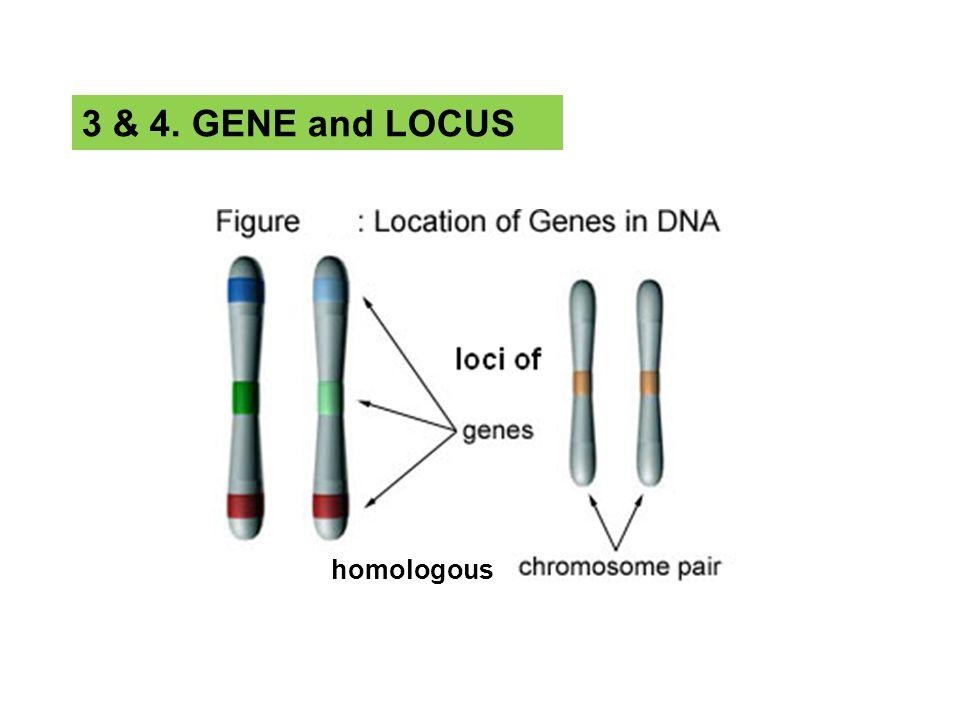 homologous 3 & 4. GENE and LOCUS