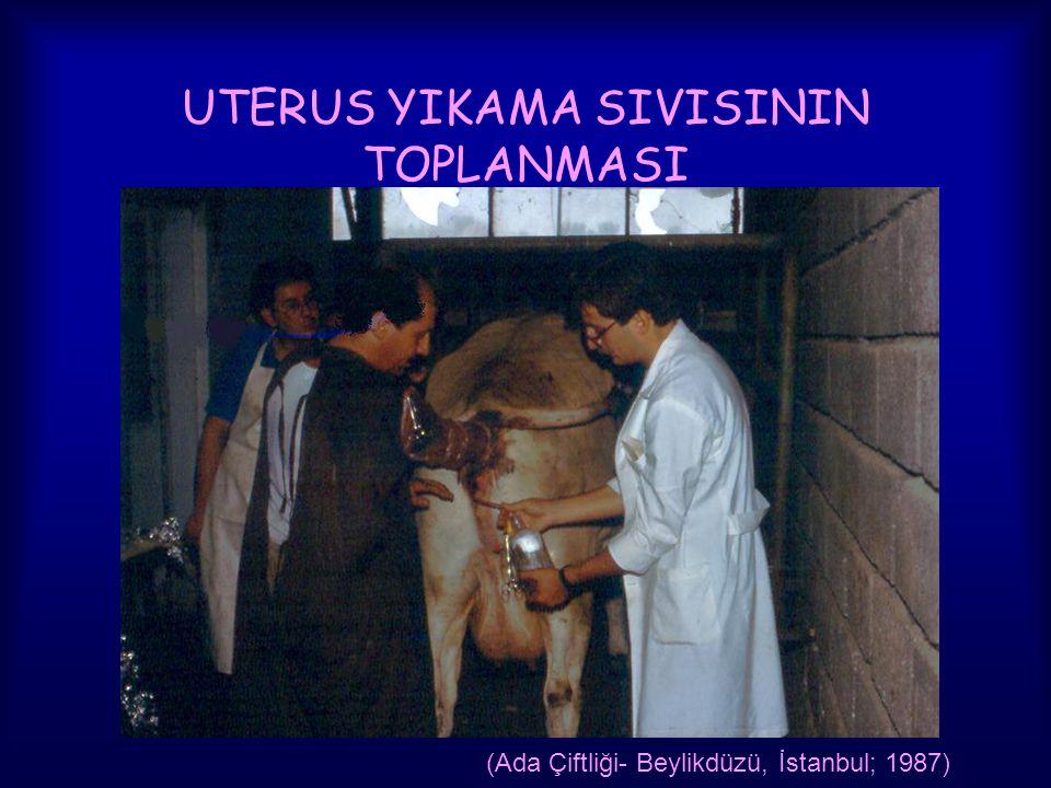 UTERUS YIKAMA SIVISININ TOPLANMASI (Ada Çiftliği- Beylikdüzü, İstanbul; 1987)