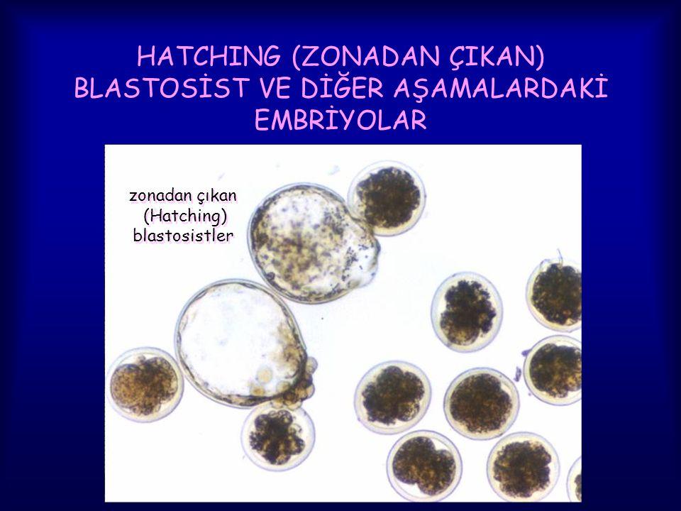 HATCHING (ZONADAN ÇIKAN) BLASTOSİST VE DİĞER AŞAMALARDAKİ EMBRİYOLAR zonadan çıkan (Hatching) blastosistler