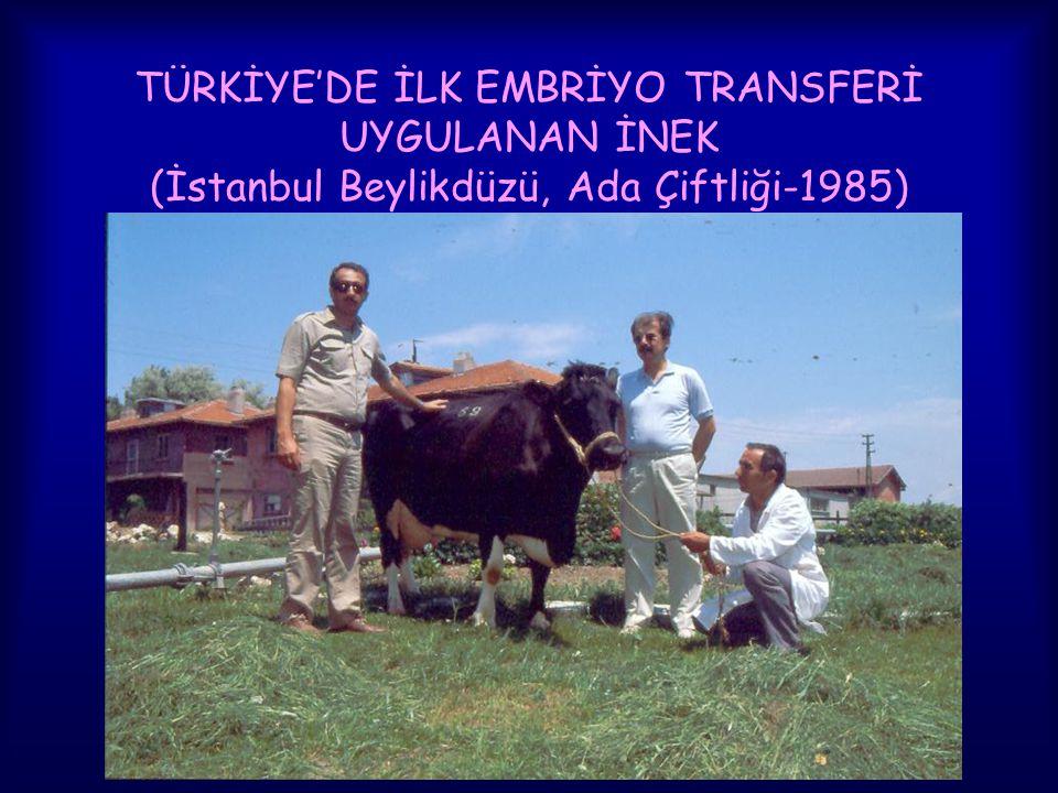 TÜRKİYE'DE İLK EMBRİYO TRANSFERİ UYGULANAN İNEK (İstanbul Beylikdüzü, Ada Çiftliği-1985)