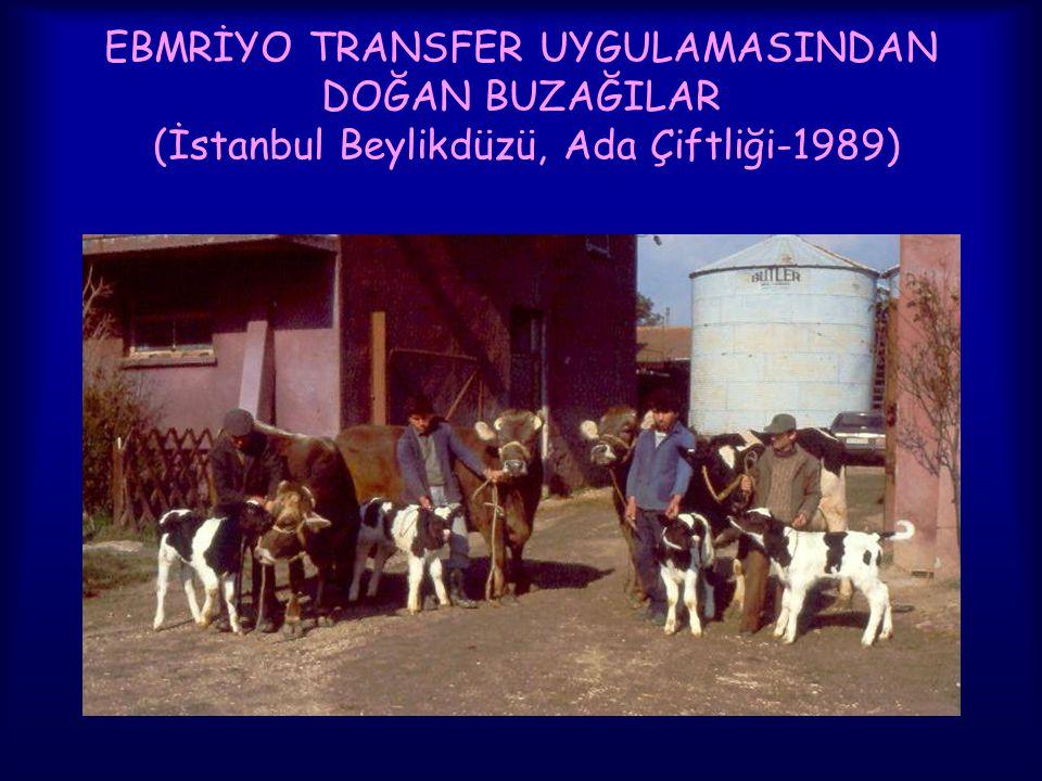 EBMRİYO TRANSFER UYGULAMASINDAN DOĞAN BUZAĞILAR (İstanbul Beylikdüzü, Ada Çiftliği-1989)