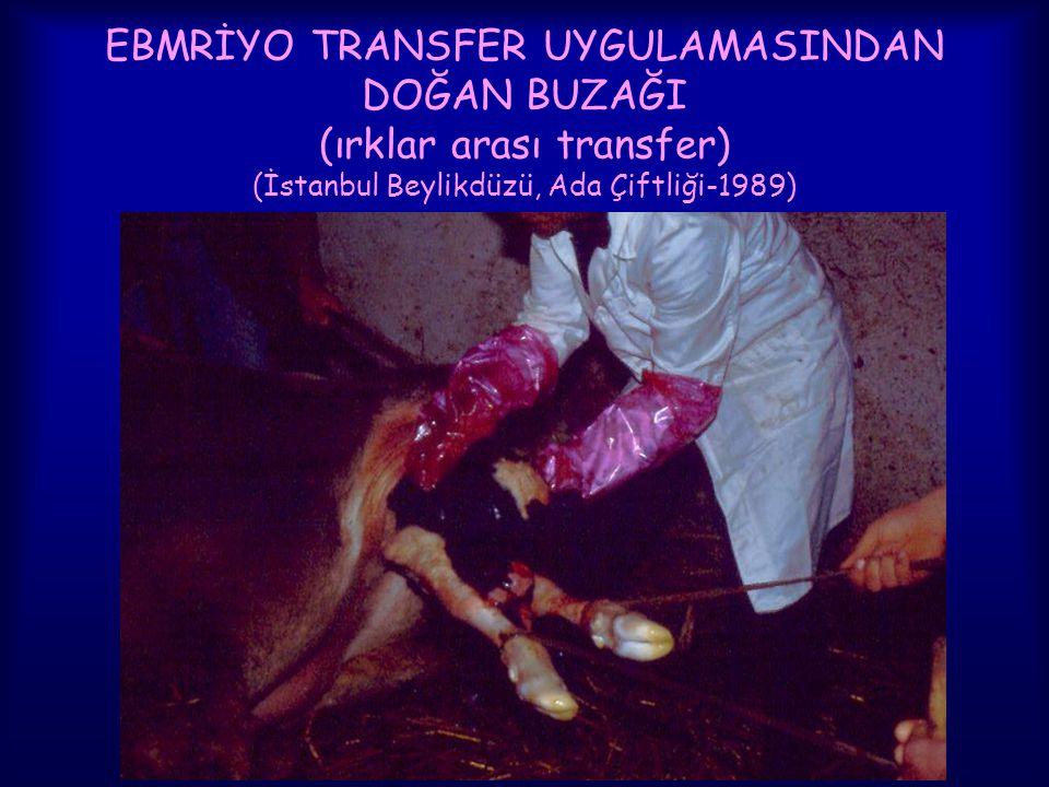 EBMRİYO TRANSFER UYGULAMASINDAN DOĞAN BUZAĞI (ırklar arası transfer) (İstanbul Beylikdüzü, Ada Çiftliği-1989)