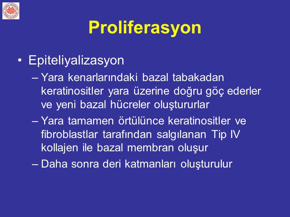 Proliferasyon Epiteliyalizasyon –Yara kenarlarındaki bazal tabakadan keratinositler yara üzerine doğru göç ederler ve yeni bazal hücreler oluştururlar