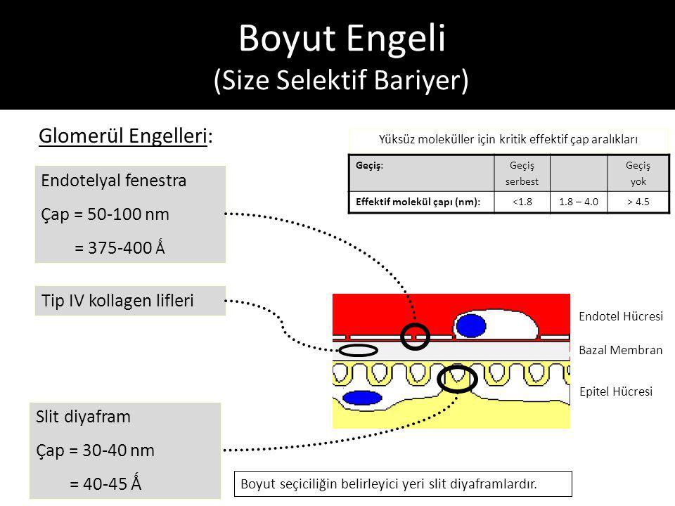 Boyut Engeli (Size Selektif Bariyer) Glomerül Engelleri: Endotel Hücresi Bazal Membran Epitel Hücresi Endotelyal fenestra Çap = 50-100 nm = 375-400 Ǻ Slit diyafram Çap = 30-40 nm = 40-45 Ǻ Tip IV kollagen lifleri Yüksüz moleküller için kritik effektif çap aralıkları Geçiş:Geçiş serbest Geçiş yok Effektif molekül çapı (nm):<1.81.8 – 4.0> 4.5 Boyut seçiciliğin belirleyici yeri slit diyaframlardır.