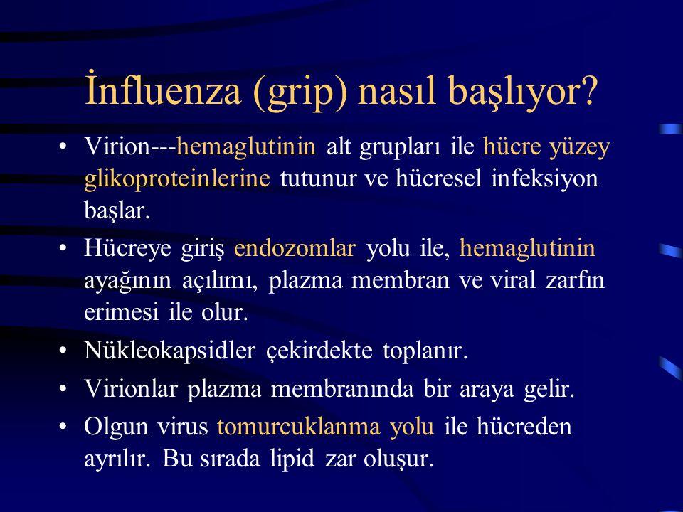 İnfluenza (grip) nasıl başlıyor? Virion---hemaglutinin alt grupları ile hücre yüzey glikoproteinlerine tutunur ve hücresel infeksiyon başlar. Hücreye