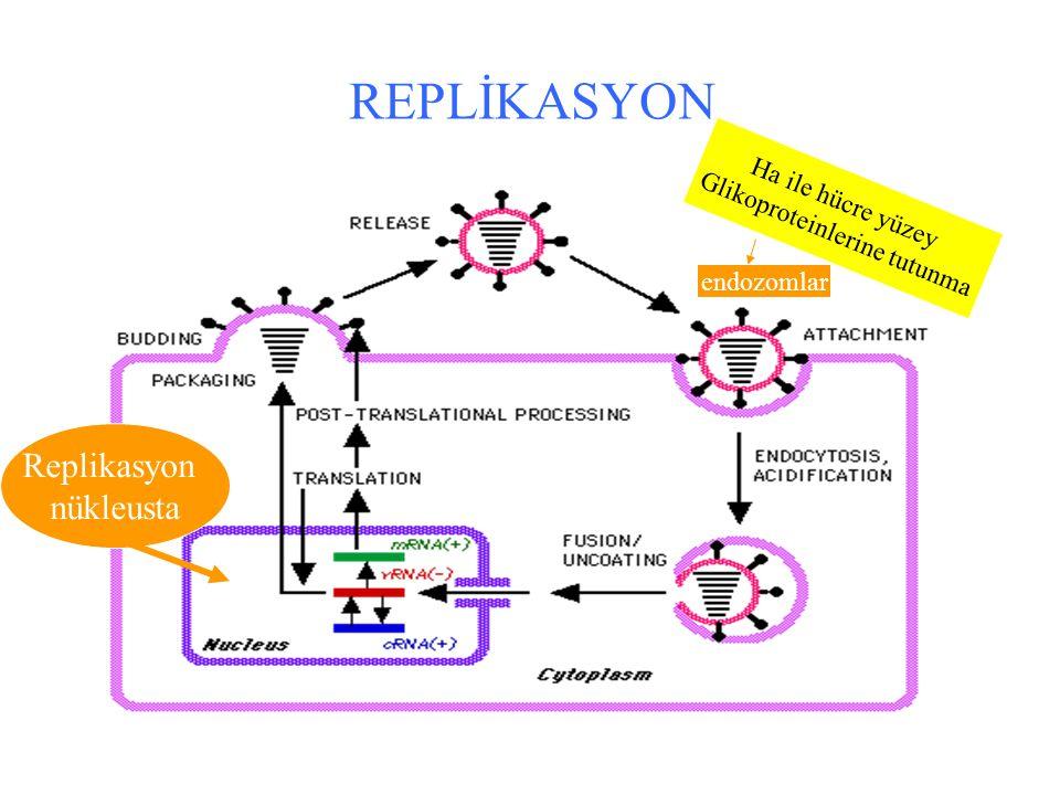 REPLİKASYON Replikasyon nükleusta Ha ile hücre yüzey Glikoproteinlerine tutunma endozomlar