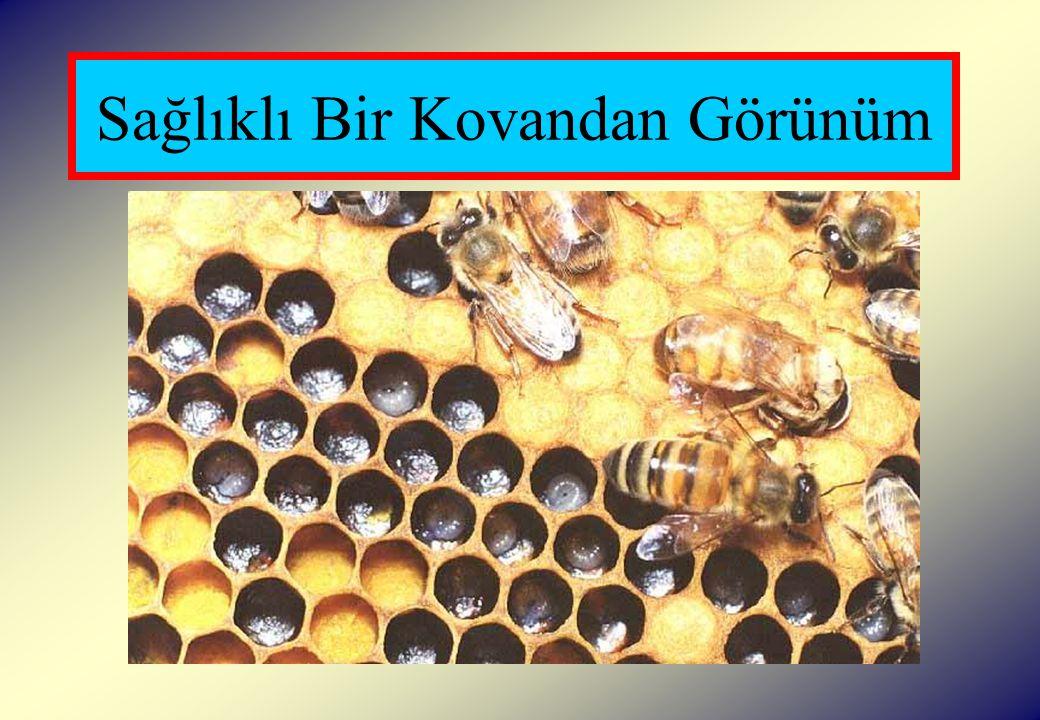 Sonbaharda Yapılacak İşlemler  Ana arı yaşlı ve dağınık yumurta atıyorsa genç bir ana arı ile değiştirilmeli veya genç analı zayıf bir koloni ile birleştirilmelidir.