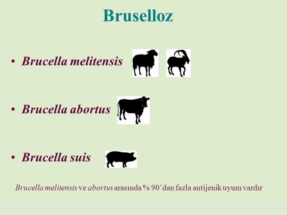 Bruselloz Tanısı Tüp aglütinasyon testi: 1/20'den 1/640'a kadar serum titrasyonu yapılır.