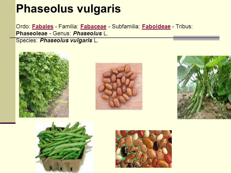Phaseolus vulgaris Ordo: Fabales - Familia: Fabaceae - Subfamilia: Faboideae - Tribus: Phaseoleae - Genus: Phaseolus L.FabalesFabaceaeFaboideae Specie
