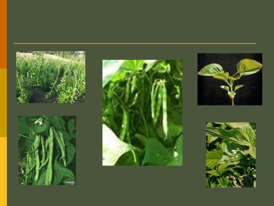 FASÜLYE ÖNEMİ Kuru fasulye insan beslenmesinde önemli bir bitkisel protein kaynağıdır.