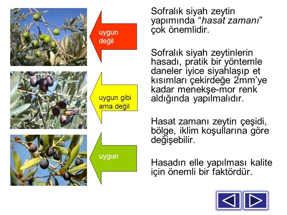 Zeytinler tenekelere konulmadan önce ayıklanmalı, yıkanmalı ve boylarına göre sınıflanmalıdır.