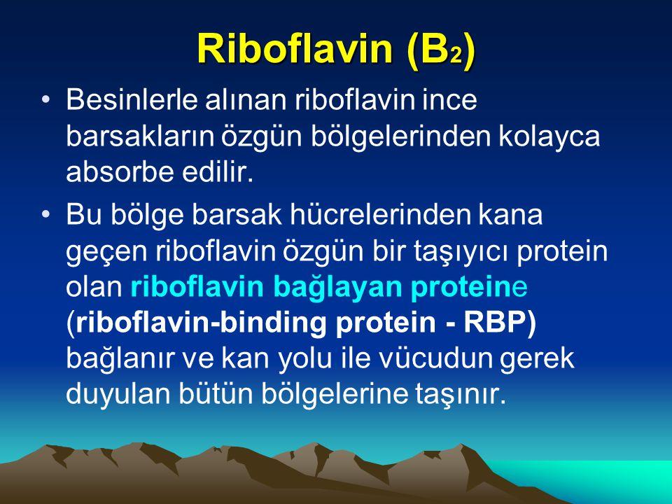 Riboflavin (B 2 ) Besinlerle alınan riboflavin ince barsakların özgün bölgelerinden kolayca absorbe edilir.