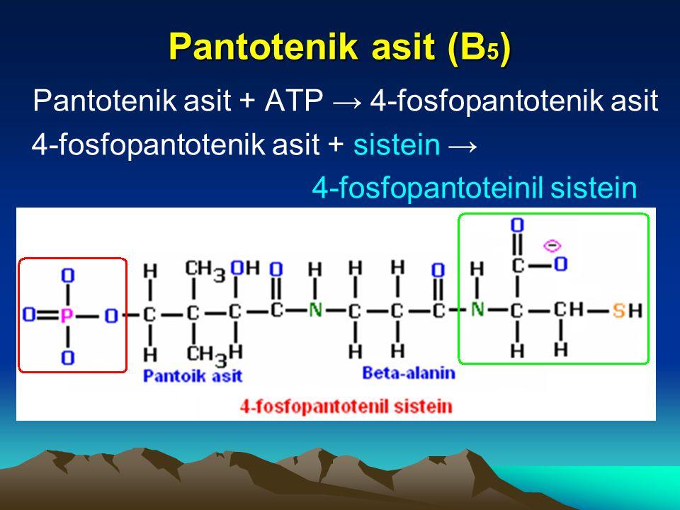 Pantotenik asit (B 5 ) Pantotenik asit + ATP → 4-fosfopantotenik asit 4-fosfopantotenik asit + sistein → 4-fosfopantoteinil sistein