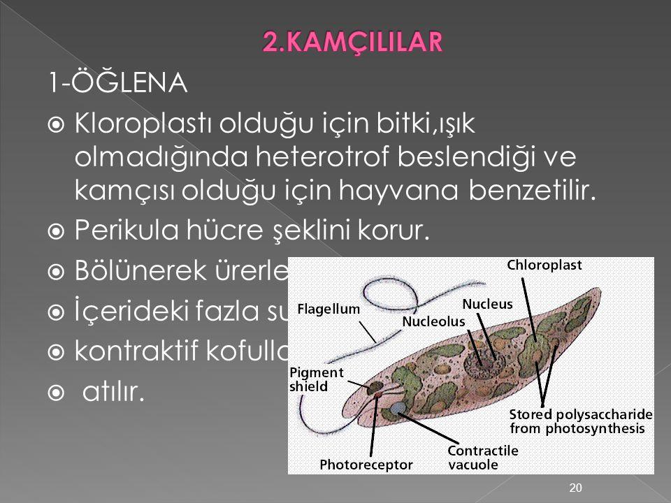  Küçük çekirdek,üremeden sorumludur.  Büyük çekirdek,hücre sitoplazmasından sorumludur. 19
