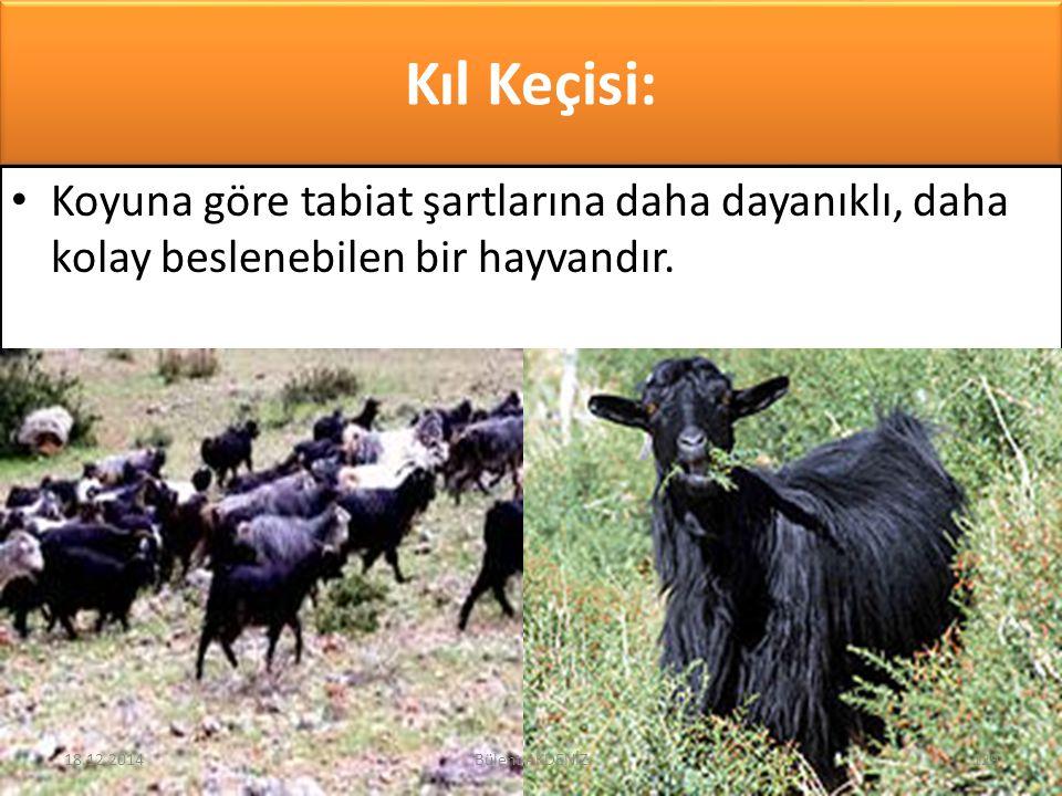 Kıl Keçisi: Koyuna göre tabiat şartlarına daha dayanıklı, daha kolay beslenebilen bir hayvandır. 18.12.2014129Bülent AKDENİZ