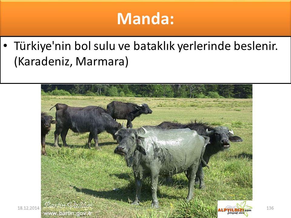 Manda: Türkiye'nin bol sulu ve bataklık yerlerinde beslenir. (Karadeniz, Marmara) 18.12.2014136Bülent AKDENİZ