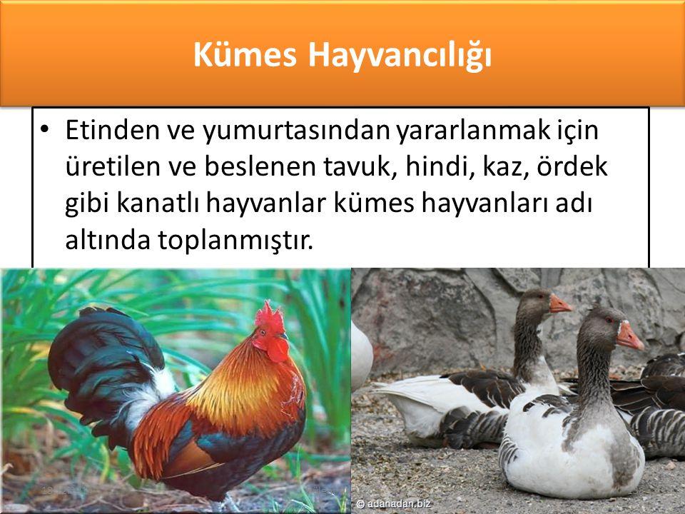 Kümes Hayvancılığı Etinden ve yumurtasından yararlanmak için üretilen ve beslenen tavuk, hindi, kaz, ördek gibi kanatlı hayvanlar kümes hayvanları adı