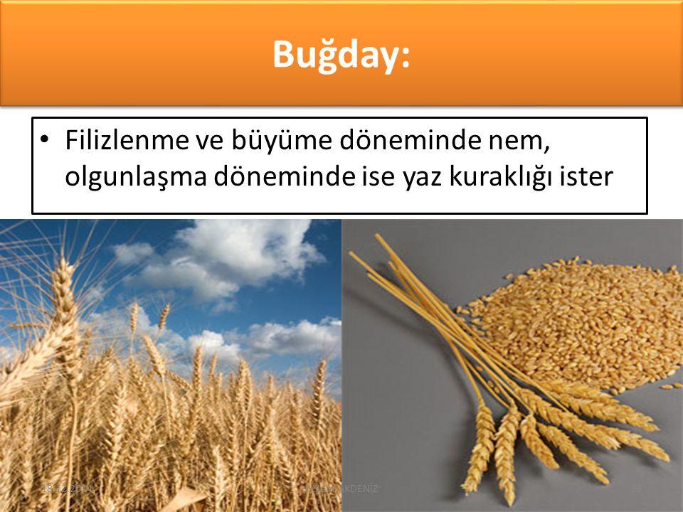 Buğday: Filizlenme ve büyüme döneminde nem, olgunlaşma döneminde ise yaz kuraklığı ister 18.12.201438Bülent AKDENİZ