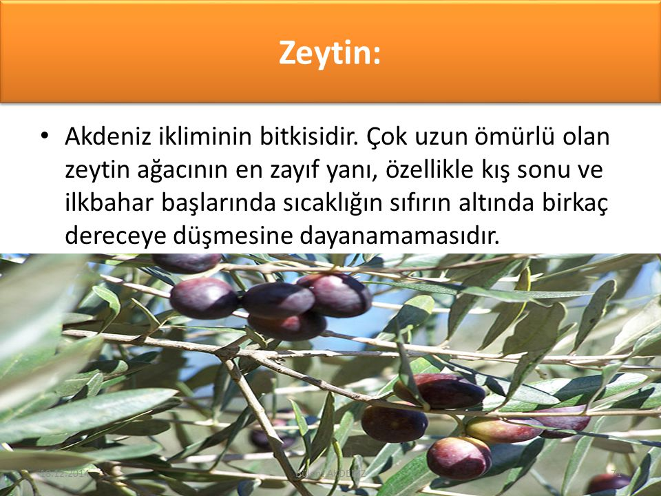 Zeytin: Akdeniz ikliminin bitkisidir. Çok uzun ömürlü olan zeytin ağacının en zayıf yanı, özellikle kış sonu ve ilkbahar başlarında sıcaklığın sıfırın