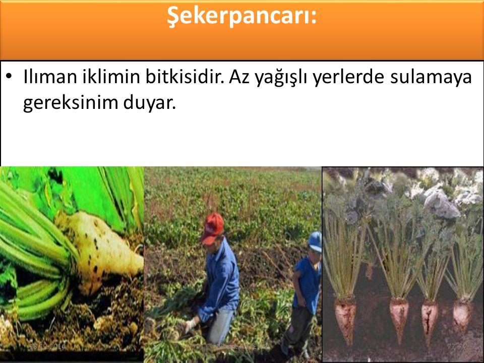 Şekerpancarı: Ilıman iklimin bitkisidir. Az yağışlı yerlerde sulamaya gereksinim duyar. 18.12.201477Bülent AKDENİZ
