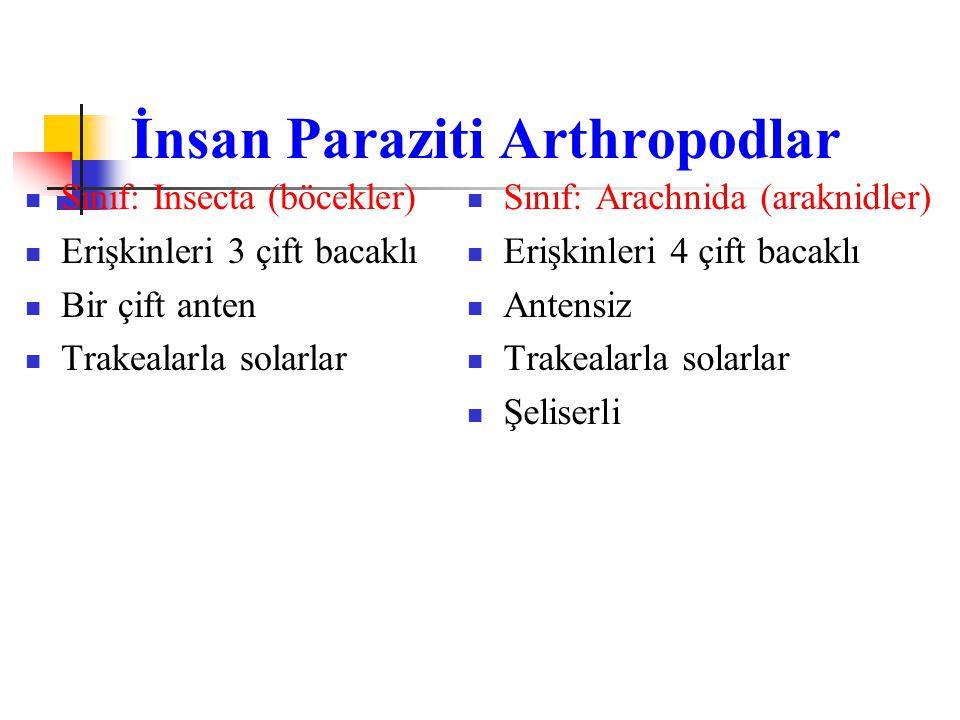 İnsan Paraziti Arthropodlar Sınıf: Insecta (böcekler) Erişkinleri 3 çift bacaklı Bir çift anten Trakealarla solarlar Sınıf: Arachnida (araknidler) Eri