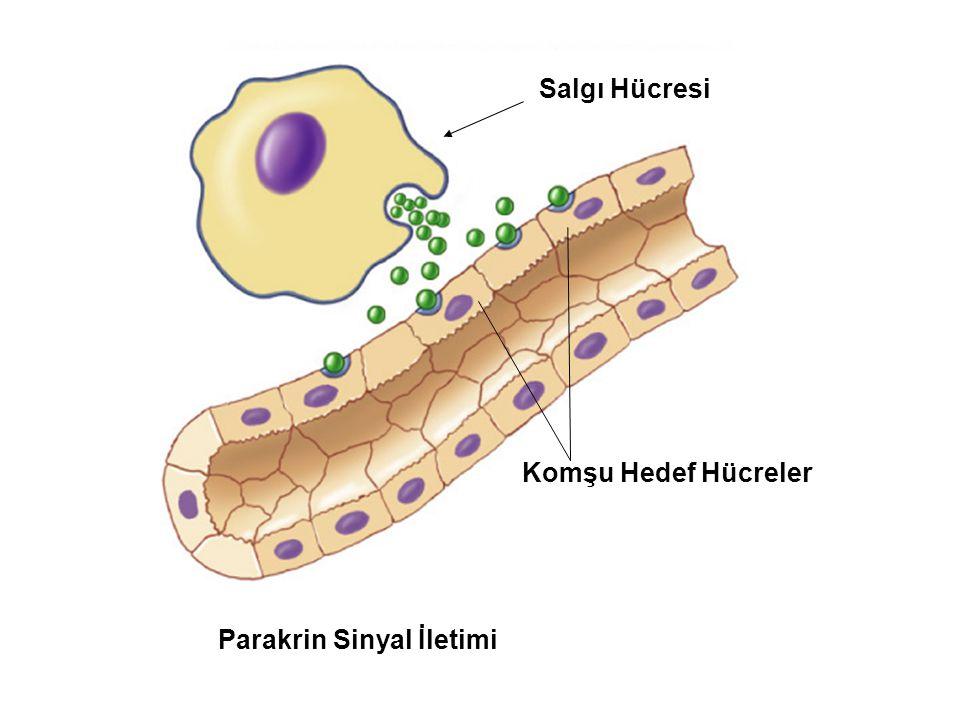Fig. 7.2b (TEArt) Parakrin Sinyal İletimi Komşu Hedef Hücreler Salgı Hücresi