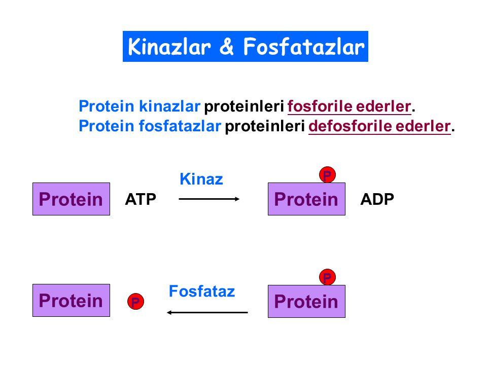 Protein Kinaz ATP Protein ADP P Protein P Fosfataz Protein P Protein kinazlar proteinleri fosforile ederler.