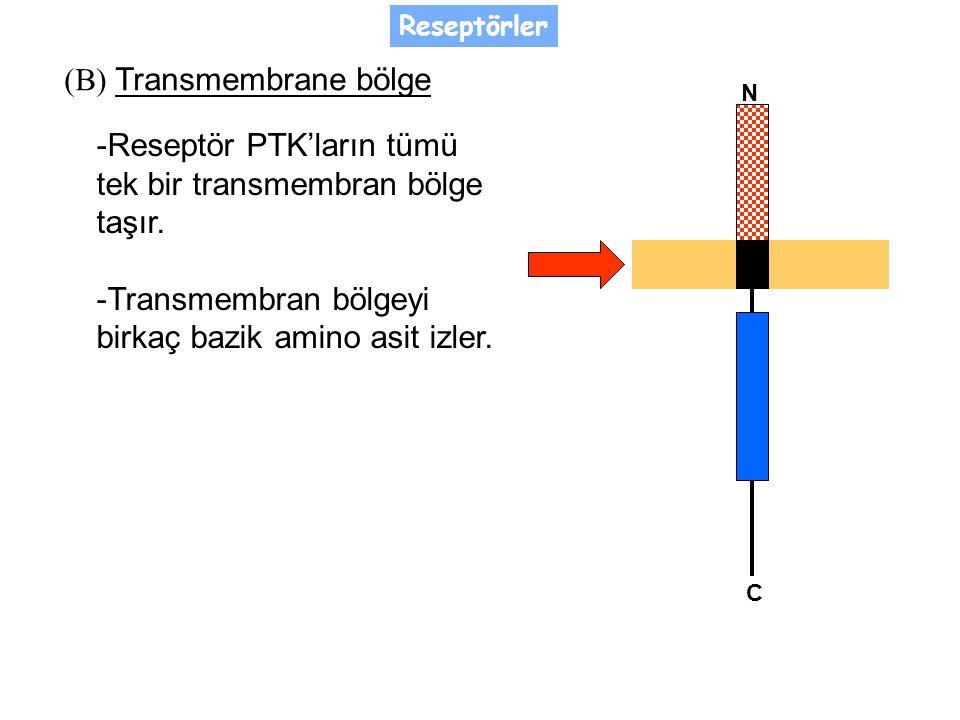 (B) Transmembrane bölge -Reseptör PTK'ların tümü tek bir transmembran bölge taşır.