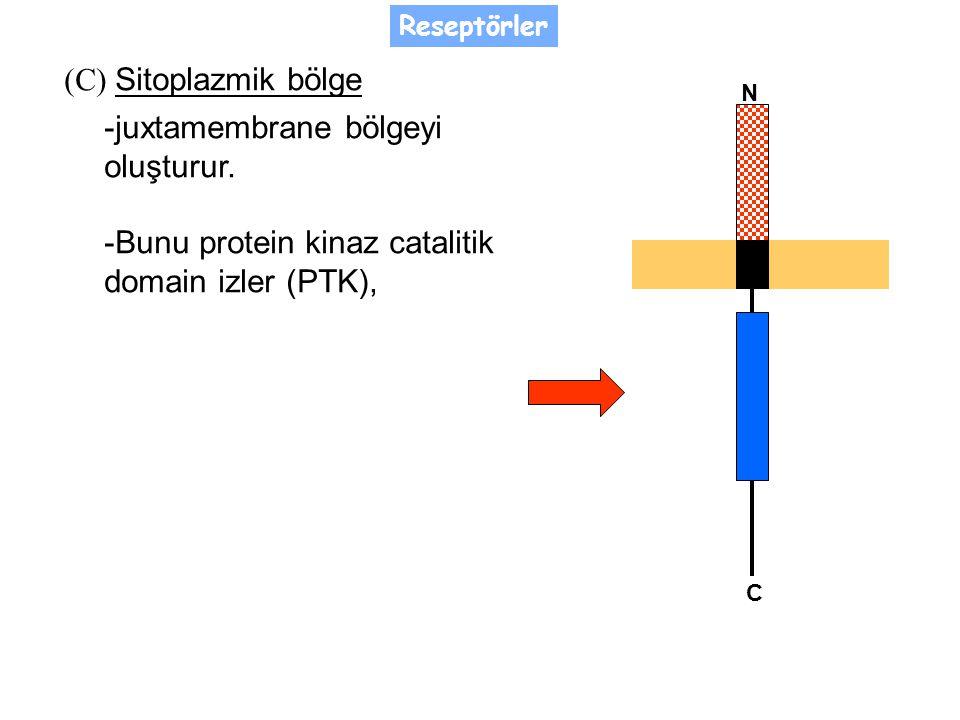 (C) Sitoplazmik bölge -juxtamembrane bölgeyi oluşturur.