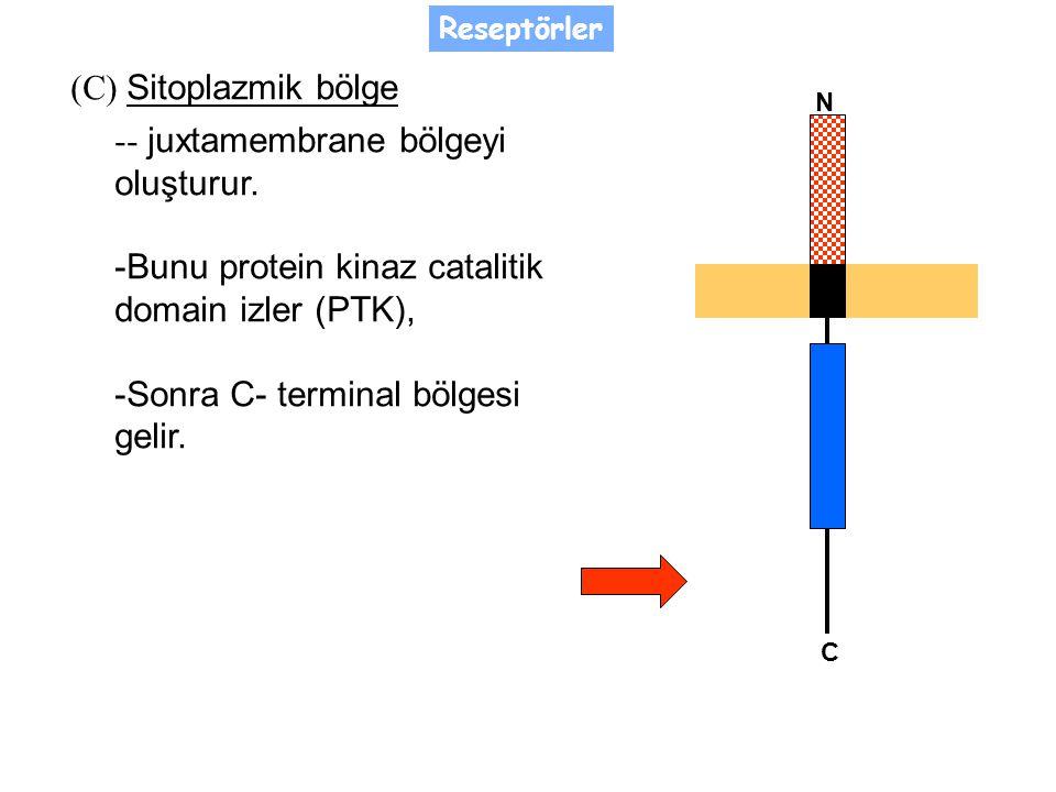 (C) Sitoplazmik bölge -- juxtamembrane bölgeyi oluşturur.