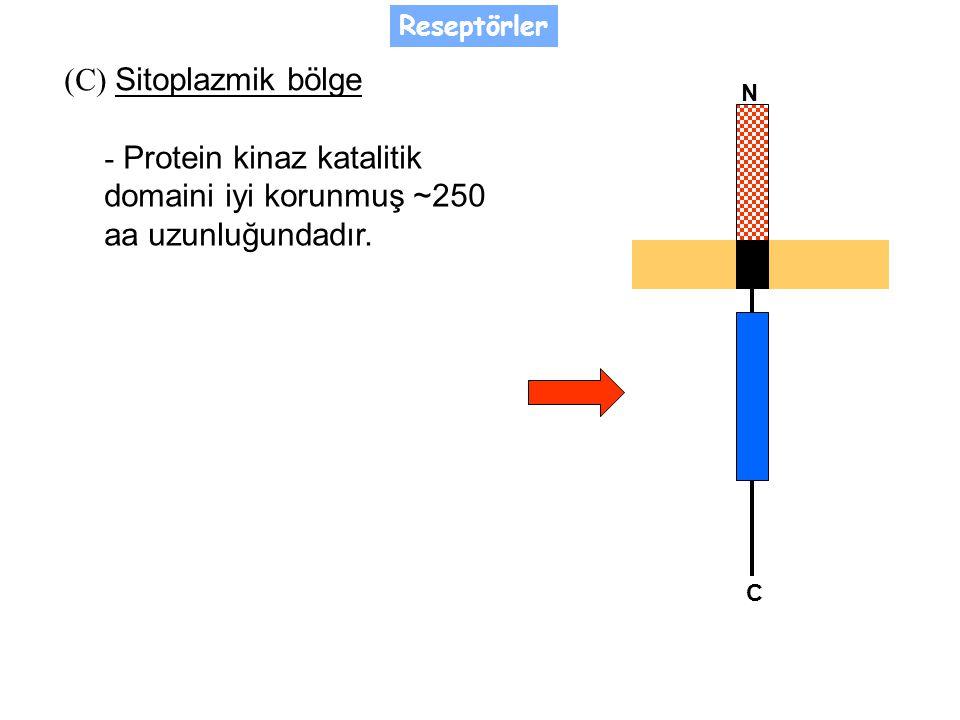 (C) Sitoplazmik bölge - Protein kinaz katalitik domaini iyi korunmuş ~250 aa uzunluğundadır.