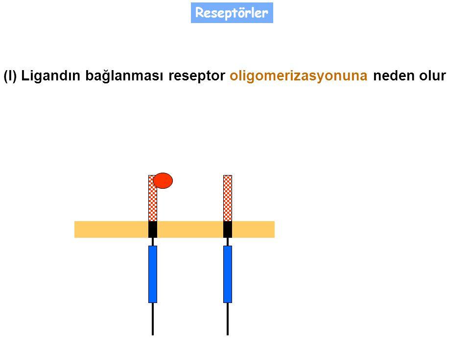 (I) Ligandın bağlanması reseptor oligomerizasyonuna neden olur Reseptörler