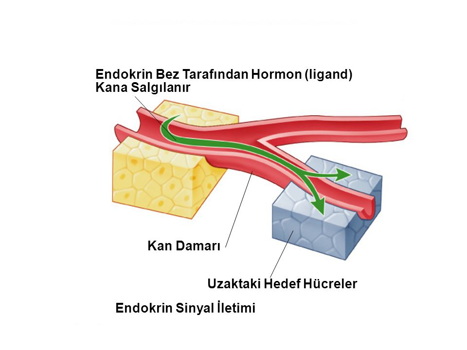 Fig. 7.2c (TEArt) Endokrin Sinyal İletimi Endokrin Bez Tarafından Hormon (ligand) Kana Salgılanır Kan Damarı Uzaktaki Hedef Hücreler