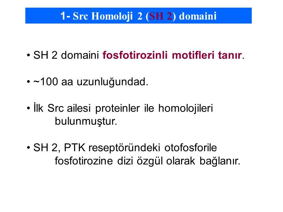 1- Src Homolo ji 2 (SH 2) domain i SH 2 domaini fosfotirozinli motifleri tanır.