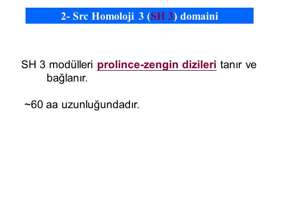 SH 3 modülleri prolince-zengin dizileri tanır ve bağlanır.