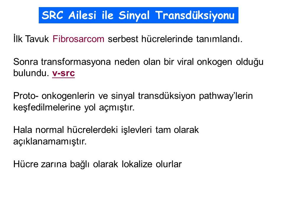 İlk Tavuk Fibrosarcom serbest hücrelerinde tanımlandı.