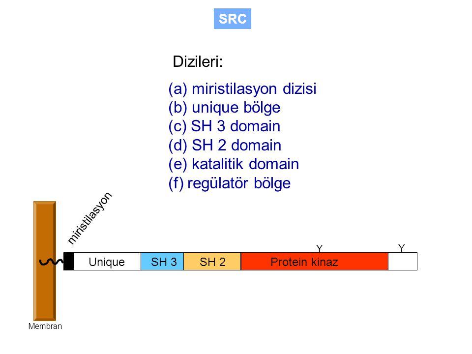 Dizileri: (a) miristilasyon dizisi (b) unique bölge (c) SH 3 domain (d) SH 2 domain (e) katalitik domain (f) regülatör bölge SH 3SH 2Protein kinaz Unique miristilasyon Membran Y Y SRC