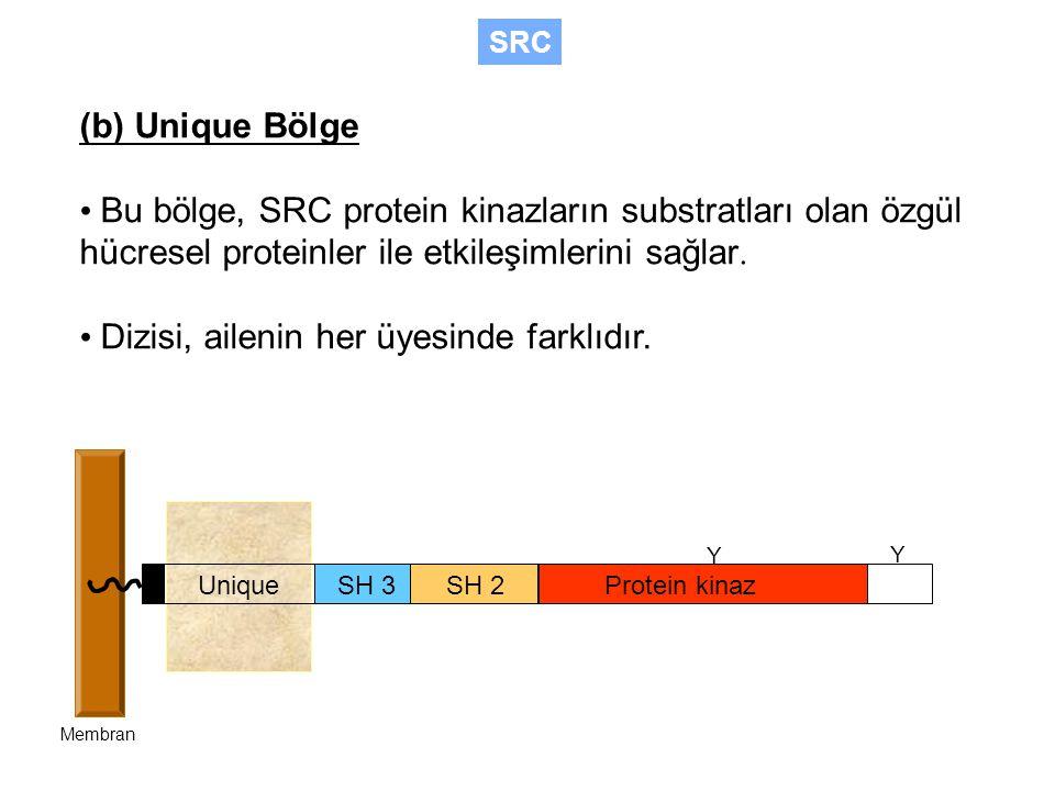 SH 3SH 2Protein kinaz Unique Membran Y Y (b) Unique Bölge Bu bölge, SRC protein kinazların substratları olan özgül hücresel proteinler ile etkileşimlerini sağlar.