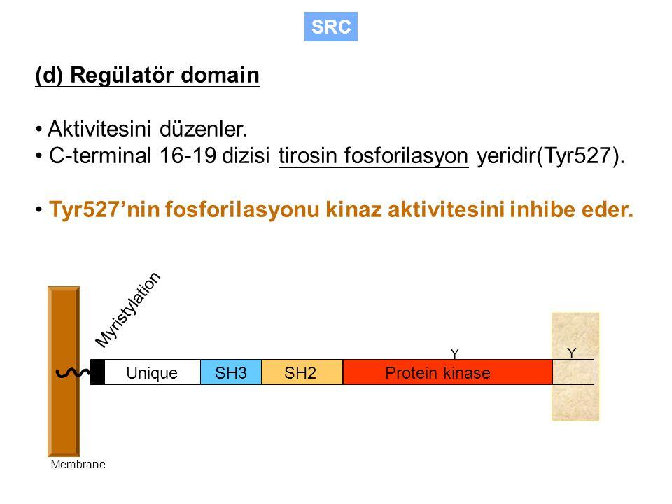SH3SH2Protein kinase Unique Myristylation Membrane Y Y (d) Regülatör domain Aktivitesini düzenler.