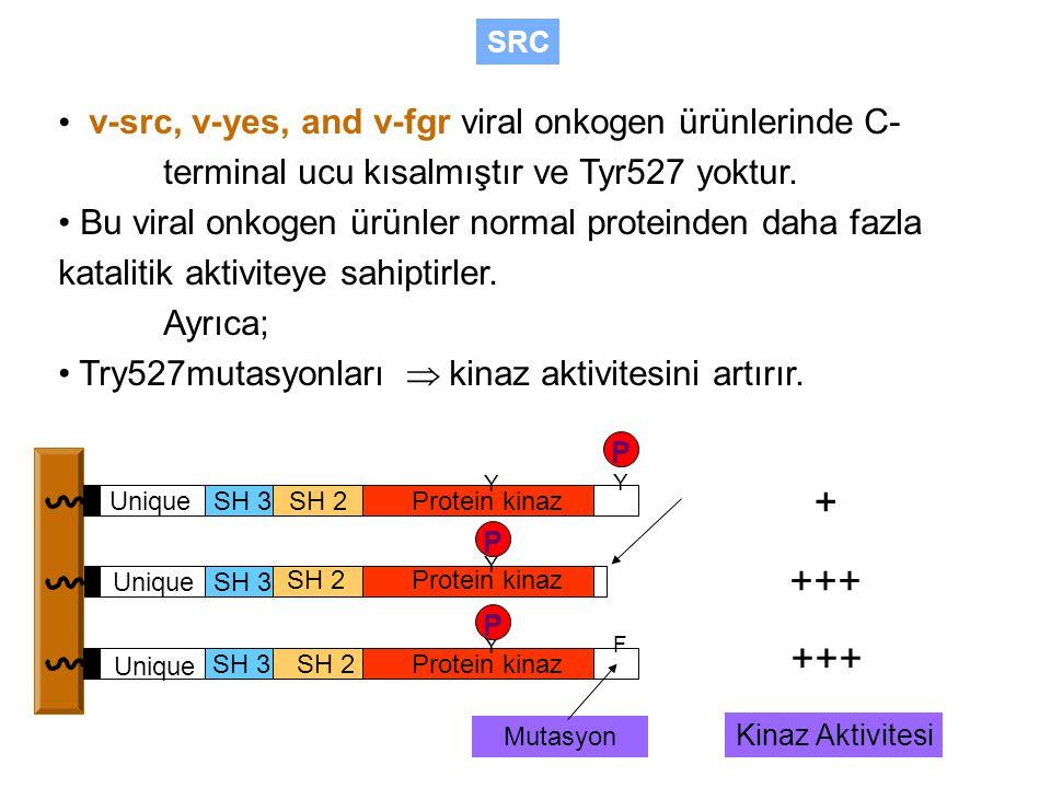 v-src, v-yes, and v-fgr viral onkogen ürünlerinde C- terminal ucu kısalmıştır ve Tyr527 yoktur.
