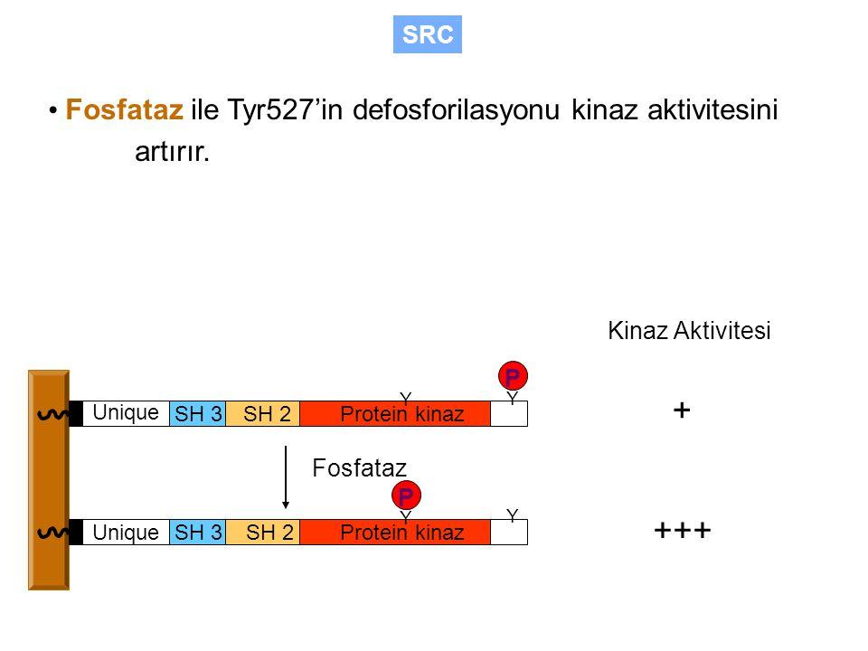 Fosfataz ile Tyr527'in defosforilasyonu kinaz aktivitesini artırır.